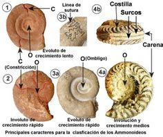 Principales caracteres para la clasificación de ammonites. Rock Identification, Ammonite, Science And Nature, Paleo, Kellan Lutz, Gem Stones, Nautilus, Crystals, Appliance Cabinet