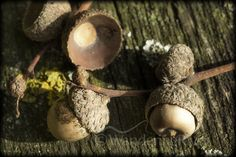 Fruit of the Oak by Steven Stoddart on 500px