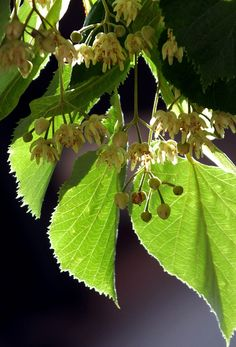 #silver #Lime #tree #flower #Tilia #tomentosa