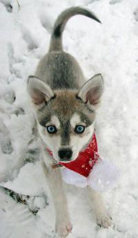 pets on pinterest husky your dog and siberian huskies. Black Bedroom Furniture Sets. Home Design Ideas