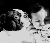 Inspiring picture baby, black and white, boston terrier, dog, photography. Resolution: 500x547 px. Find the picture to your taste!