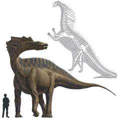 El Amargasaurus era un dinosaurio saurópodo del Cretácico de 8 toneladas con unas peculiares espinas que nacían en la parte superior del cuello y terminaban en mitad de la espalda. Tenía un cráneo alargado. Se cree que éstas sostenían una vela o tejido muscular. Amargasaurus se descubrió en Argentina a principio de los noventa. Se trata de un relativamente completo y único esqueleto. Longitud: 10 metros Encontrado en Sudamérica