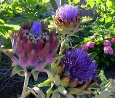 Artichoke is a beautiful year round plant for landscape.....