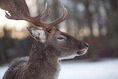 Fallow deer by Michaela Smidova on 500px