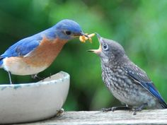 Blue bird feeding baby........ ....April, build standard small birdhouses  8 feet above ground to have these birds around the garden.....good insect gatherers...