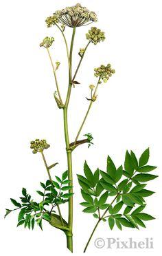 Takapihan yrttikasvit: KarhunputkiRohtona käytetään juurta, lehtiä ja hedelmiä. Keväällä ja alkukesällä karhunputken nuoret versot ja lehdet ovat hyviä syötäväksi. Lehtiä voi käyttää pinaatin tapaan ja meheviä varsia voi vaikkapa hillota. Keskikesään mennessä karhunputki on liian sitkeä ja väkevänmakuinen syötäväksi. Karhunputken juurista tai hedelmistä voidaan tehdä teetä tai yrttiuutetta.Karhunputken ominaisuuksia ja niillä hoidettavia vaivoja: edistää ruuansulatusta ja vahvistaa vatsaa…