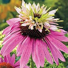 "Double Decker Coneflower    Bright pink, two-tiered blooms top and surround the base of the showy center cones. A unique coneflower that will naturalize quite well and performs in borders all summer. Nice in fresh and dried arrangements, too. Young plants may produce single flowers. 3"" pot  Light: Full Sun to Partial Shade   Height: 36-40""  Bloom Time: Mid to Late Summer  Height/Habit: 36 - 40""  Spread: 18 - 24""  Spacing: 18 - 24"""