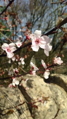 Blossoms are lovely