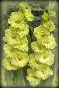 Gladiolus 'Huron Meadow'