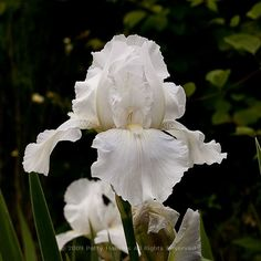 Immortality Bearded Iris © 2010 Patty Hankins A wonderful white bearded iris This photo is available as a matted print or as a gallery wrapped canvas on my website White Iris, Purple Iris, Flower Images, Flower Pictures, Spring Flowers, White Flowers, White Lace, Shades Of Light Blue, Beautiful Flowers Pictures