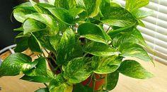 #indoor #plants #gardening Pothos