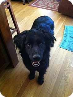 Delaware, OH - Flat-Coated Retriever Mix. Meet King, a dog for adoption. http://www.adoptapet.com/pet/12840385-delaware-ohio-flat-coated-retriever-mix