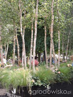 Zielonej ogrodniczki marzenie o zielonym ogrodzie - strona 720 - Forum ogrodnicze - Ogrodowisko