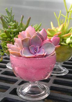 Succulent Sundae