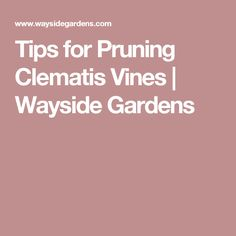 Tips for Pruning Clematis Vines | Wayside Gardens