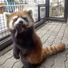 Scary Animals, Cute Funny Animals, Cute Baby Animals, Animals And Pets, Red Panda Cute, Panda Love, Gatos Cool, Pom Dog, Red Pandas