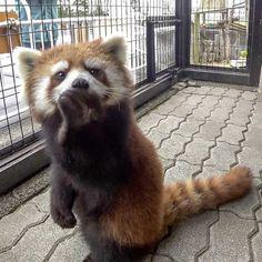 Scary Animals, Cute Funny Animals, Cute Baby Animals, Animals And Pets, Gatos Cool, Pom Dog, Panda Love, Baby Puppies, My Spirit Animal
