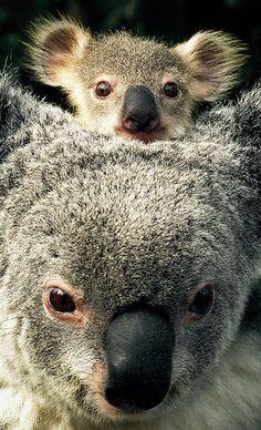 Mom Koala and Little One  #babyanimals #animals #wild