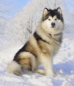 Irrefutable Reasons to Own a Siberian Husky Ideas Alaskan Husky Alaskan Malamute. Lovable, hard working giant bundles of beautiful fluff. Husky Malamute, Giant Alaskan Malamute, Alaskan Husky, Husky Puppy, Cute Dogs And Puppies, Pet Dogs, Doggies, Puppies Puppies, Fluffy Puppies