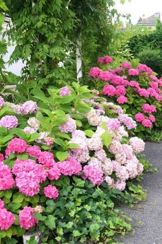 Love the hydrangea edged with ivy! Hortensia Hydrangea, Hydrangea Garden, Pink Hydrangea, White Hydrangeas, Beautiful Gardens, Beautiful Flowers, My Secret Garden, Henri Matisse, Summer Garden