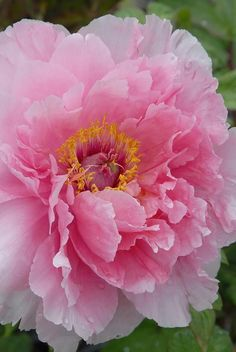 Ideas for nature beauty flowers pink Amazing Flowers, Pink Flowers, Beautiful Flowers, Pink Peonies, Fresh Flowers, Flowers Nature, Exotic Flowers, Yellow Roses, Simply Beautiful