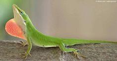 Weird Real Animals - Anole Lizard