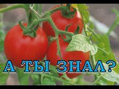 9 секретов урожайных помидоров - YouTube