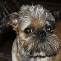 """Click here to view Brussels Griffon Dogs for adoption, or post one in need."" ― ♥ RESCUE ME! ♥ ۬"
