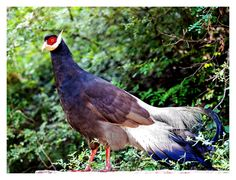 Brown Eared-Pheasant (Crossoptilon mantchuricum) extremely rare.