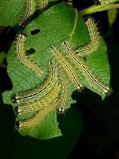 Silkmoths and more: Copaxa multifenestrata