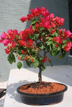 Bougainvillea makes a bright summery specimen