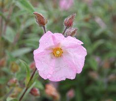 CISTUS x skanbergii Plants, Flowers, Rose
