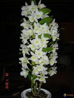 Dendrobium Nobile Orchids Types | dendrobium nobile hybrid dendrobium yellow song canary dendrobium ...