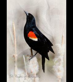 Cattail Melody by DeVaughnSquire, via Flickr  Red-winged Blackbird