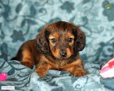 138 Best Dachshund Puppies Images Dachshund Puppies Dachshund Dog