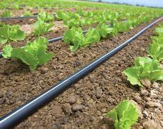 Beneficiile irigarii prin picurare pentru legumele cultivate in camp Cultivate, Herbs