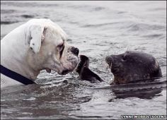 Boxer encounters seal in the sea