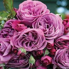 Garden Decor - Outdoor & Patio Decorations | Collections Etc. Floribunda Roses, Shrub Roses, Garden Care, Unique Roses, Beautiful Roses, Comment Planter Des Roses, Fragrant Roses, Belle Plante, Heirloom Roses
