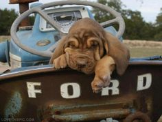Bloodhound in Old Ford cute sad old dog truck bloodhound sleepy ford pickup