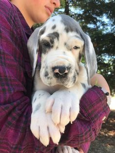 Odin Kim's European Great Dane's