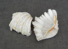 Beautiful Antique Pair Large CLAM Natural SHELLS..Vintage Natural History Curio..Marine Shell Seaside Nautical Beach Interior Decor Display by SlimandSugar on Etsy