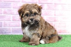 Havanese Puppies, Goldendoodle, Lancaster Puppies, Most Popular Dog Breeds, Lap Dogs, Puppies For Sale, Cuddle, Puppy Love, Fun