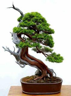 Shimpaku in the slanted style Indoor Bonsai Tree, Bonsai Plants, Bonsai Garden, Big Indoor Plants, Mini Plants, Unique Trees, Small Trees, Shiba Inu, Jungle Gardens