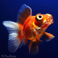 A Telescope Eye Goldfish. To see more click on ... http://www.AquariumFish.net/catalog_pages/goldfish_and_koi/telescope_table.htm#top2