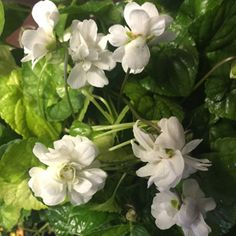 Viola 'Conte di Brazza'; One of the most fragrant, and the only white, Parma Violet. To keep a large amount of blooms on violet plants, replant them in fresh rich soil every few years.