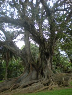 Rubber Tree in Jardim Antonio Borges, Ponta Delgada (Azores), Portugal