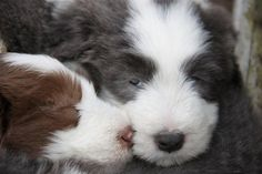 Bearded Collies....I'll take both of you.