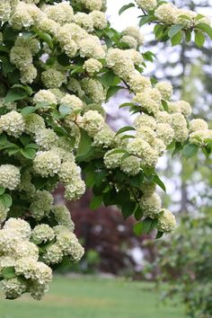 .my grandparents had a bush just like this! We called it the Snowball bush...one of my favorites!
