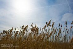 Landscape photography Tall Grass in Blue Sky nature art print