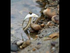 A Hero: this Snake Saves a Fish from Drowning Un serpent sauve un poisson de la noyade Les Reptiles, Reptiles And Amphibians, Animals And Pets, Funny Animals, Cute Animals, Wild Animals, Baby Animals, Beautiful Creatures, Animals Beautiful